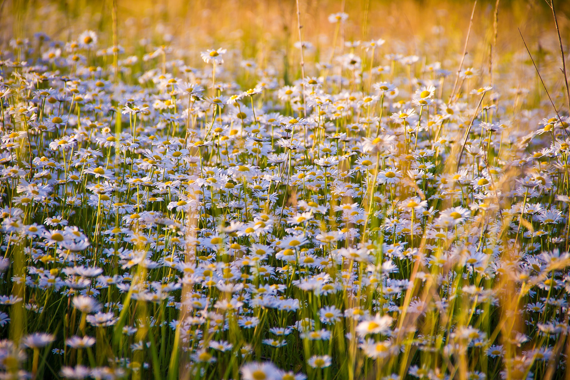 Header images of a field of daisies